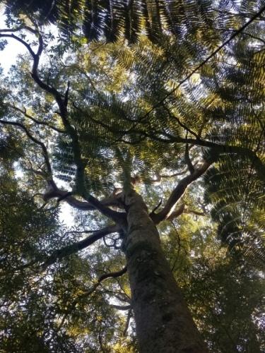 giant Maitai tree at Archery Park Nelson